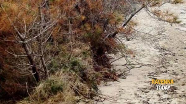 lido di dante, spiaggia e pineta della riserva naturale inghiottite dal mare.-3