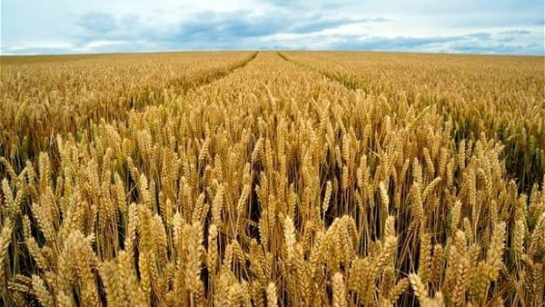 Giovanni Gualtieri racconta la Battaglia del grano