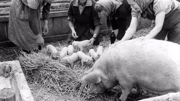 Maiali al museo: degustazioni e aneddoti sull'animale più buono della tradizione contadina