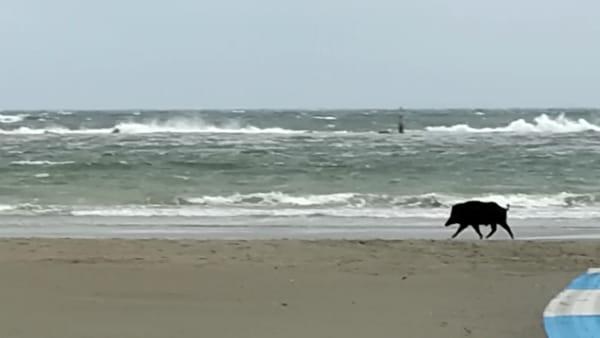 Sorpresa in spiaggia all'alba: un cinghiale passeggia in riva al mare - VIDEO