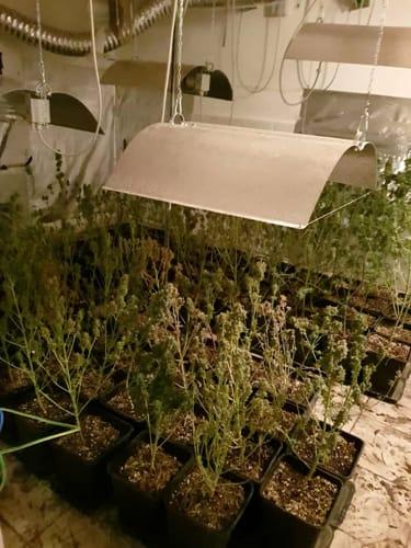 arresto-coltivazione-marijuana-2